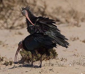 bald-ibis