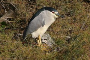 night-heron-1