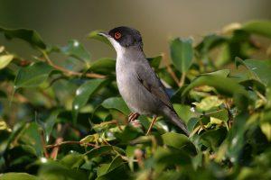 Sardinian-Warbler-4
