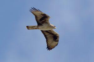 Bonelli's-eagle-2