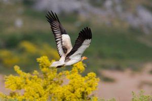 egyptian-vulture-8