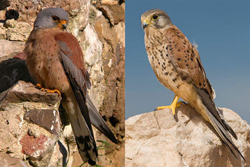 kestrel_lesser_common_web