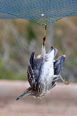night-heron_netted_web