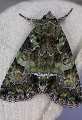 guernsey-underwing-polyphaenis-viridis