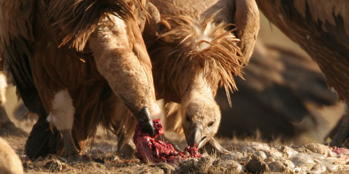 img 8003-griffon-vulture