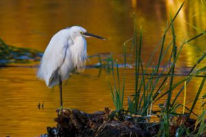 Axarquia-Little-Egret
