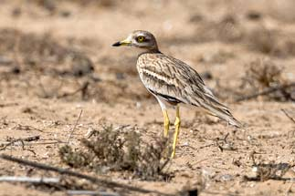 3T9P0991---Stone-Curlew
