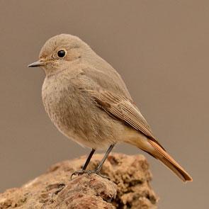 Black-Redstart-article-2