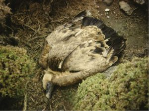 Wildlife-crime-Poisened-Griffon-Vulture