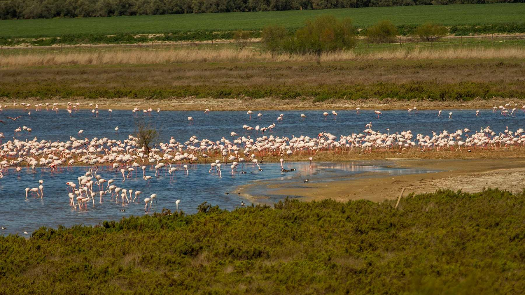 Greater flamingo at fuente de piedra drought and abuse of - Fuentes de piedra ...