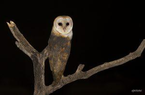 Barn Owl Project