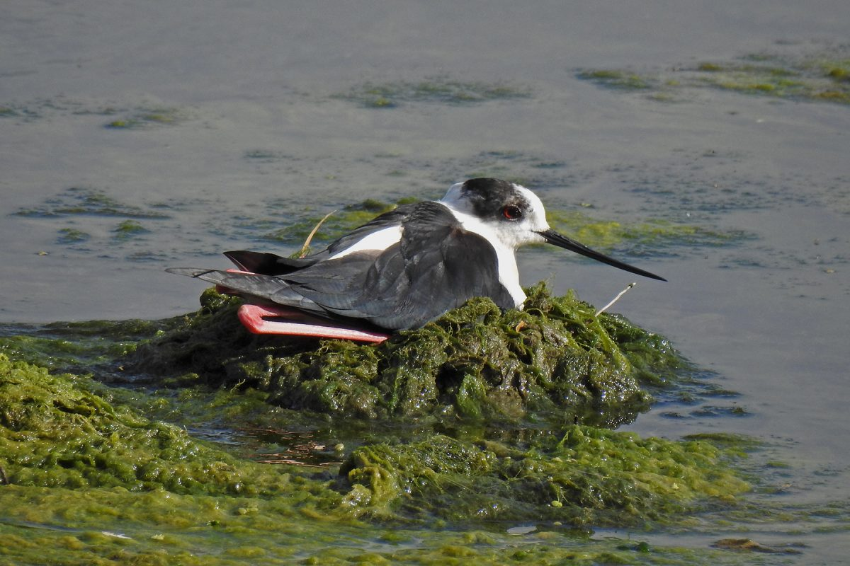 Resting Black-winged Stilt