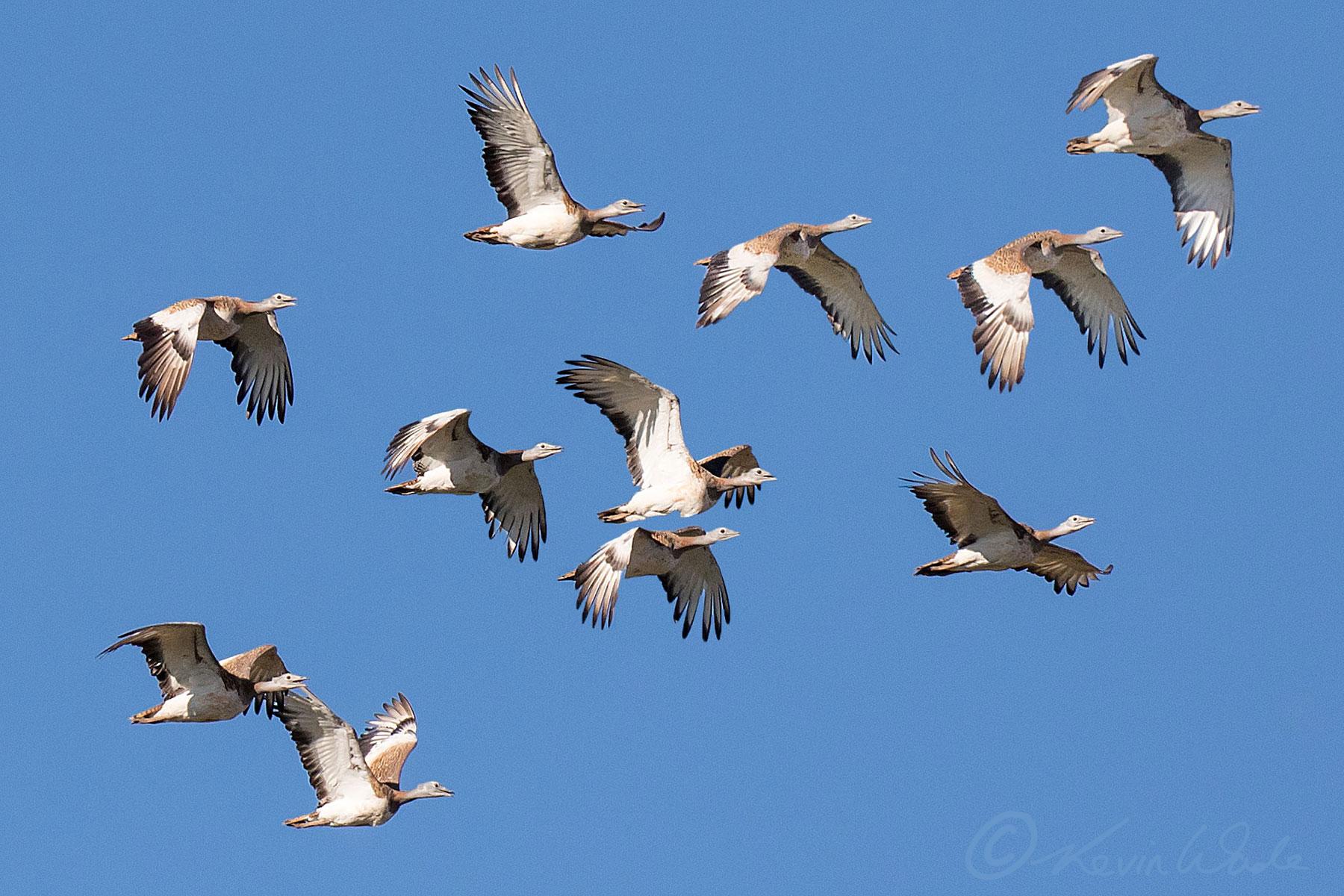 Great Bustard flock