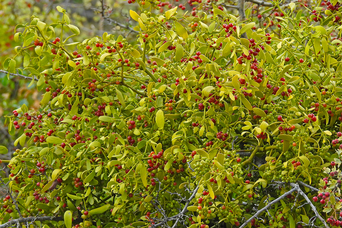 Red-berried Mistletoe