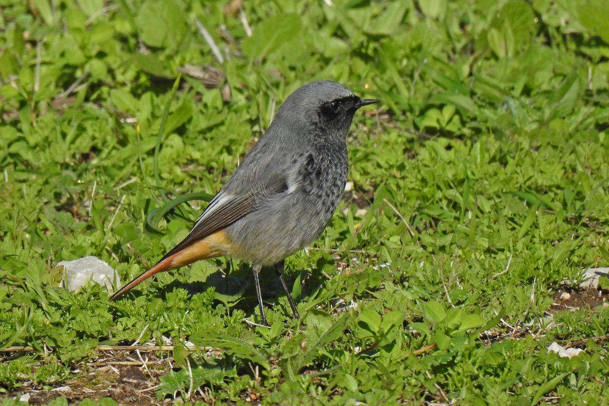 Black Redstart winter male