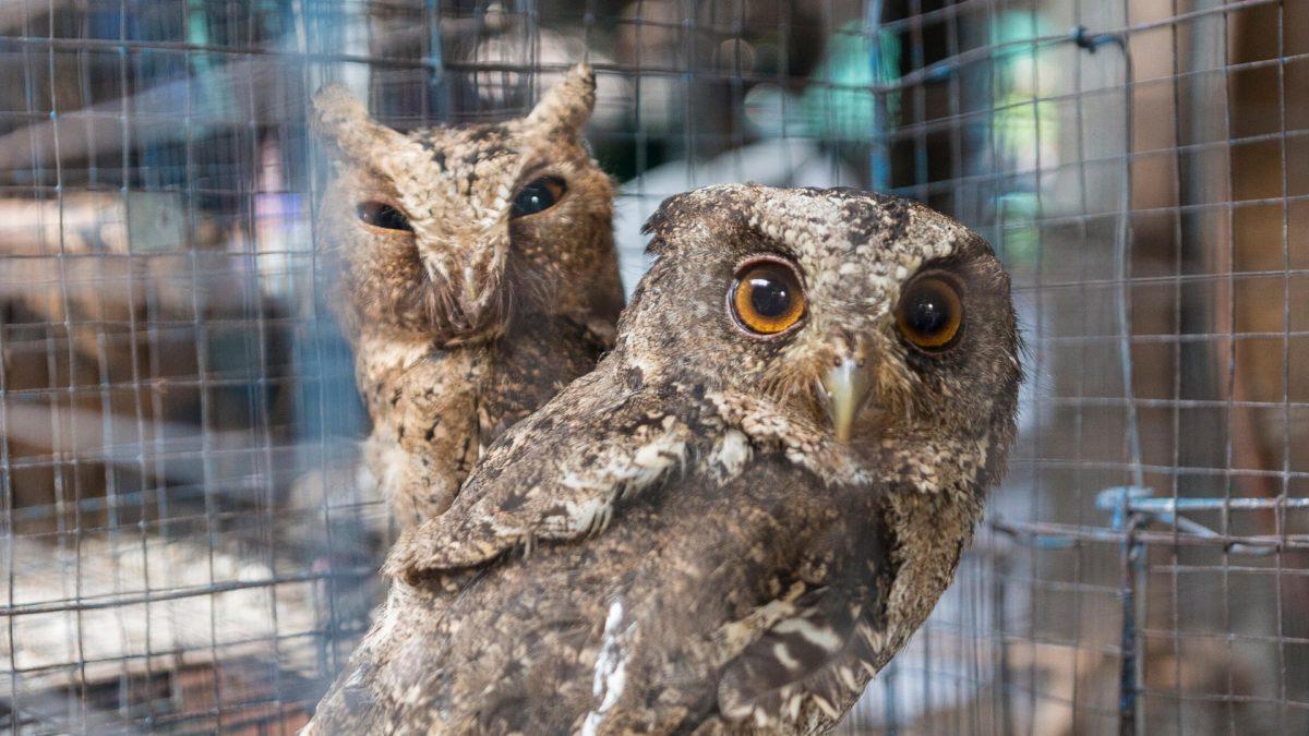 Owl trafficking