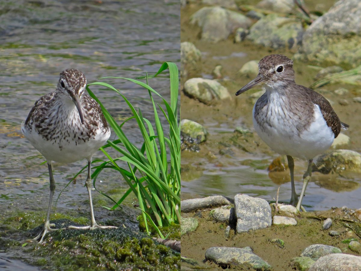 Green and Common Sandpiper