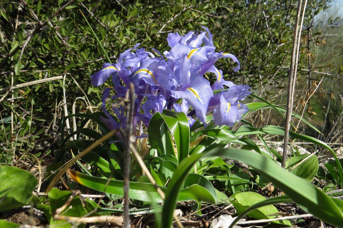 Broad-leaved Iris